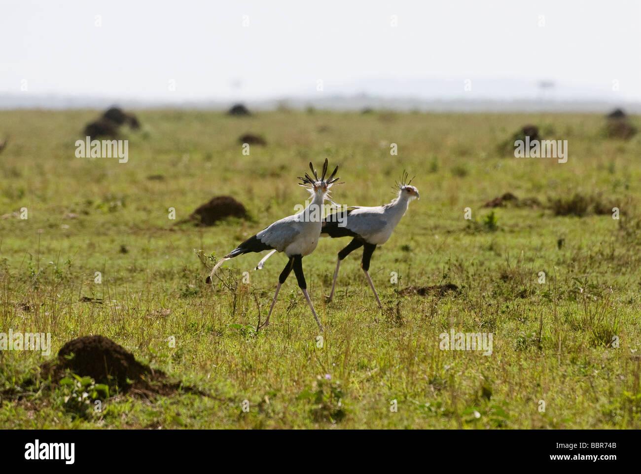 Secretary Bird Sagittarius serpentarius Masai Mara KENYA East Africa Stock Photo