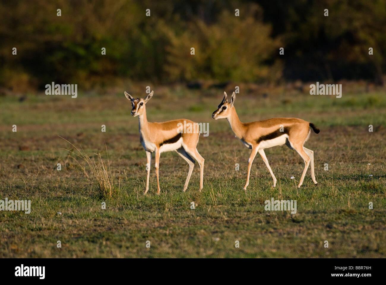 mating Thomson s Gazelle Eudorcas thomsonii Gazella thomsonii Masai Mara NATIONAL RESERVE KENYA East Africa - Stock Image