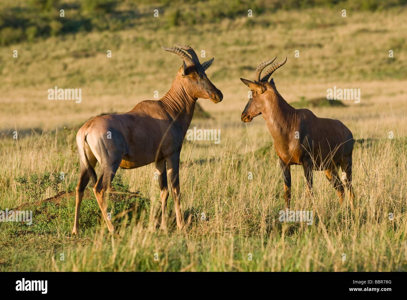 Topi Damaliscus lunatus Masai Mara NATIONAL RESERVE KENYA East Africa - Stock Image