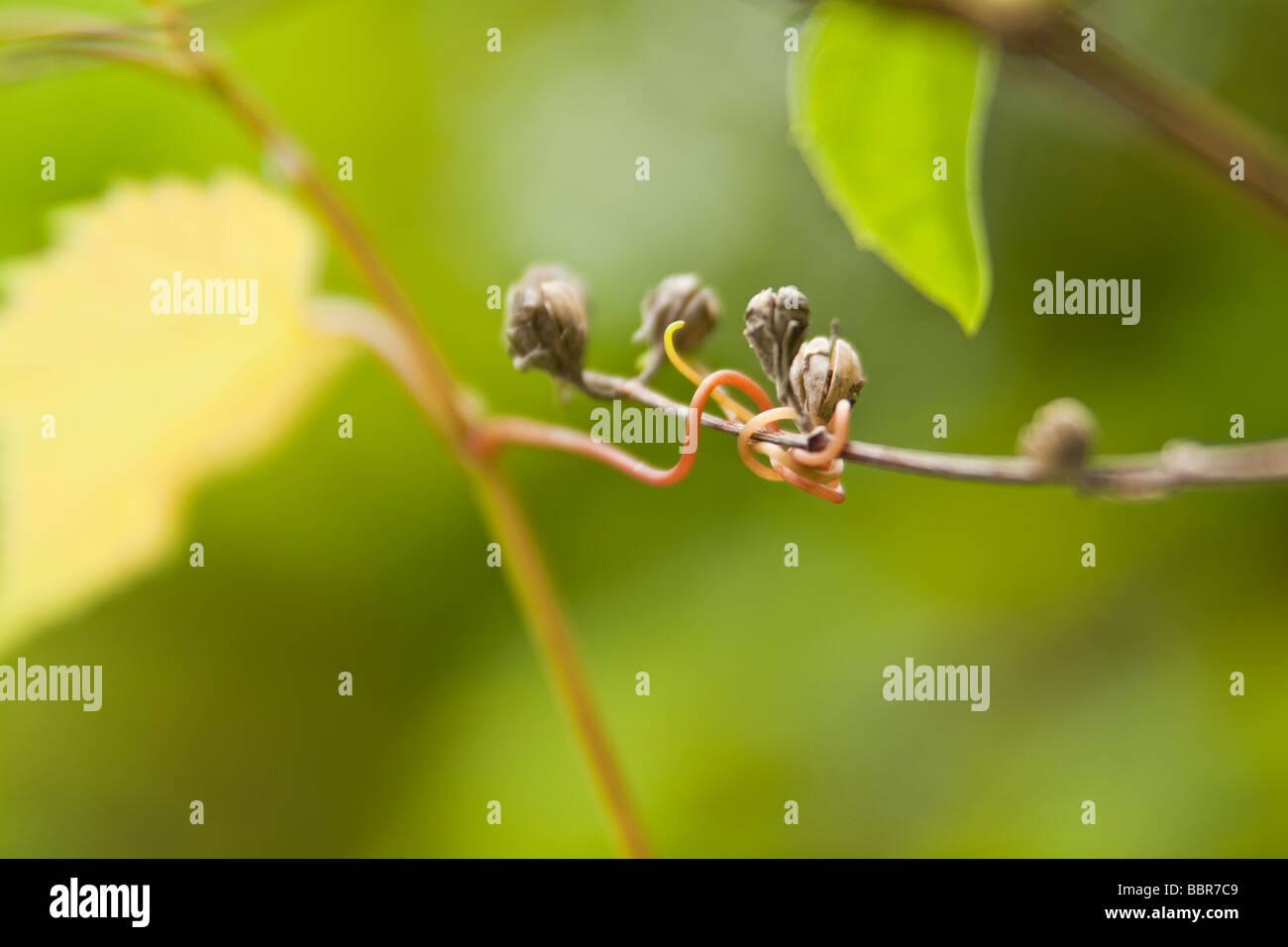 Macro springtime grapevine tendril, around berries - Stock Image