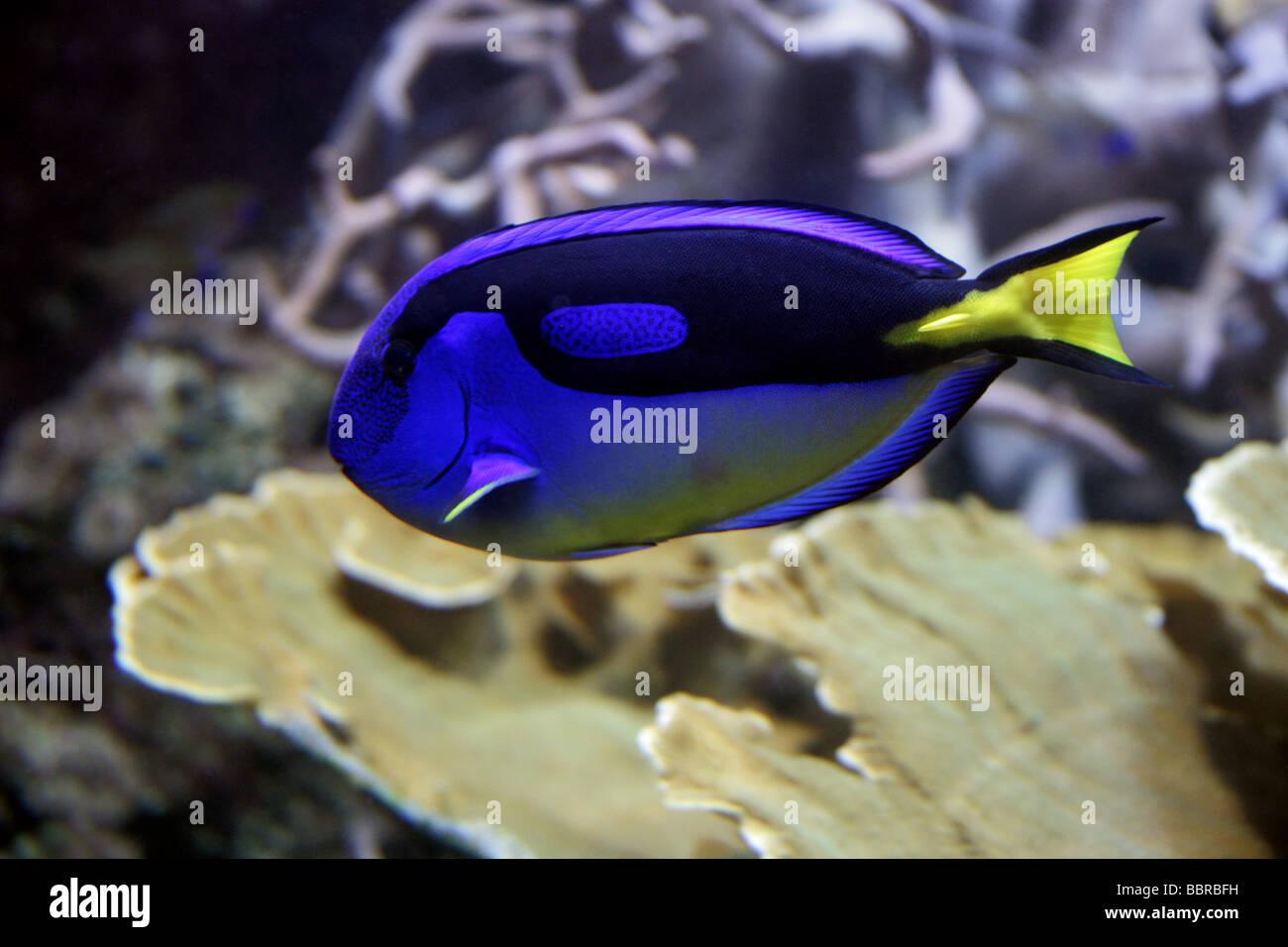 Regal Tang, Paracanthurus hepatus, Acanthuridae, Perciformes - Stock Image