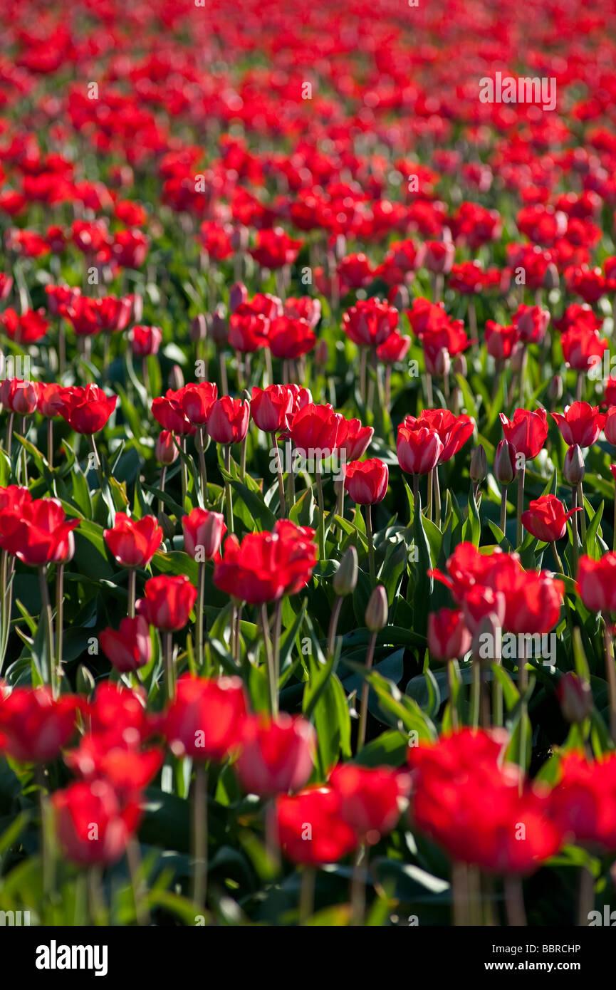 Red tulip fields near Mount Vernon Washington State USA - Stock Image