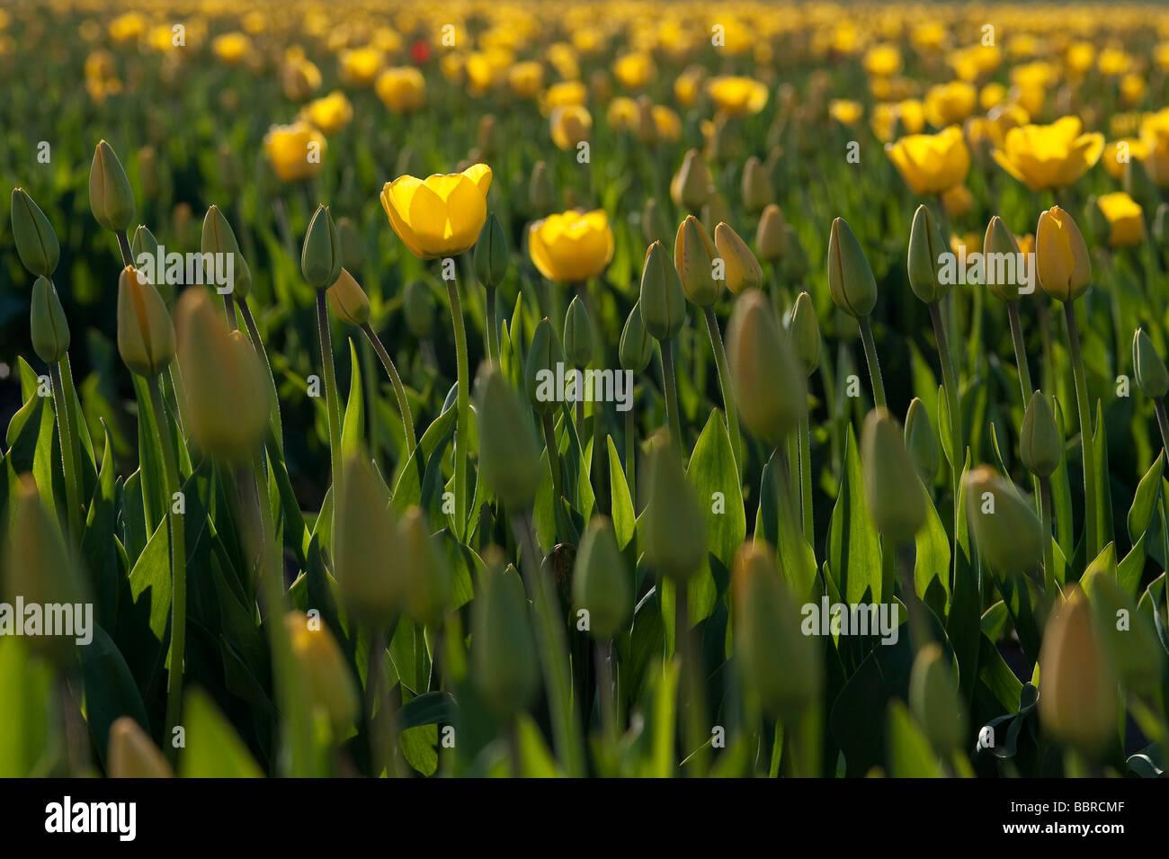Yellow tulips, fields  of tulips Mount Vernon,Wahsington State - Stock Image