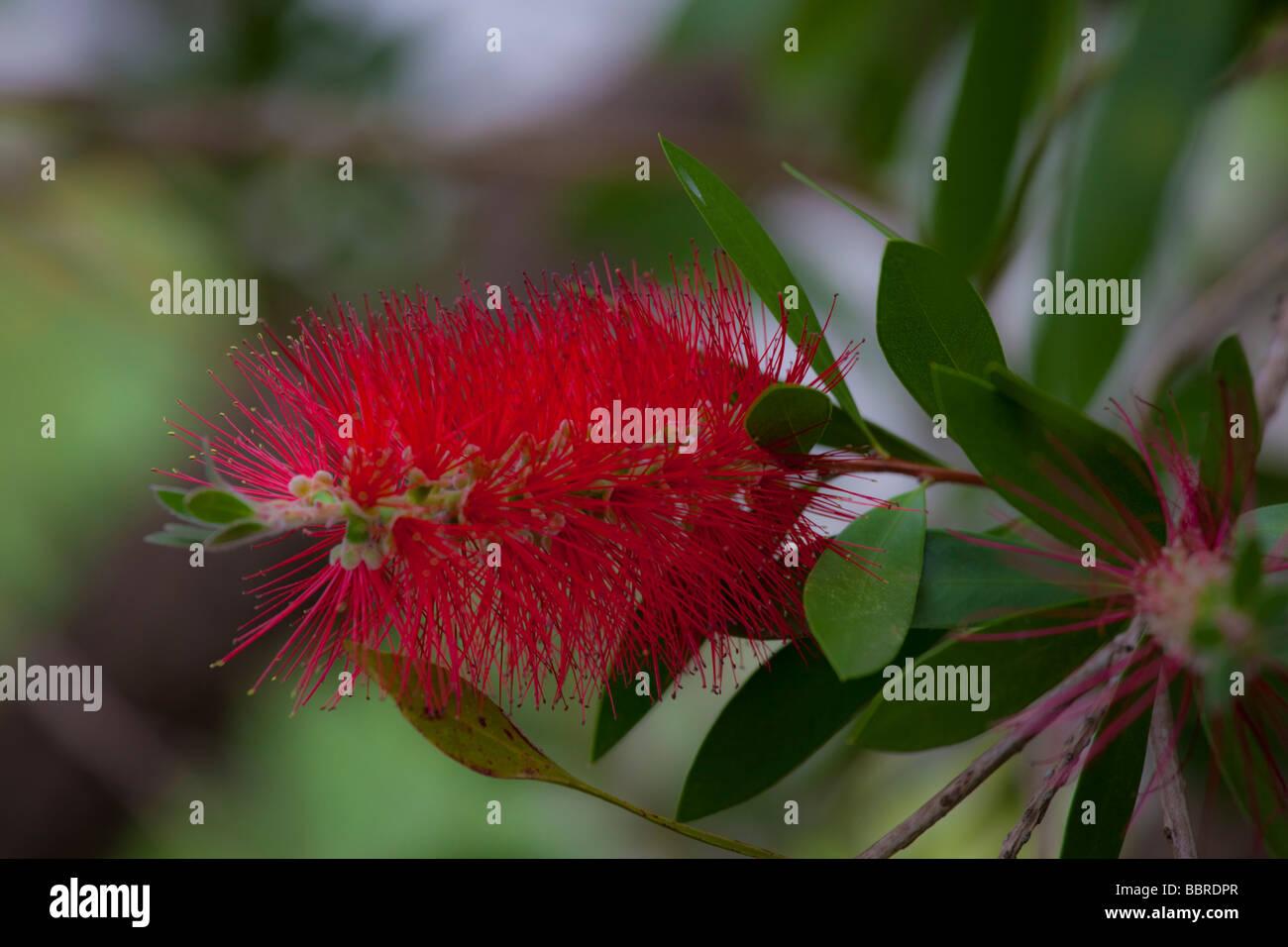 Bottle brush flower Kula Botanical Garden Upcountry Maui Hawaii - Stock Image