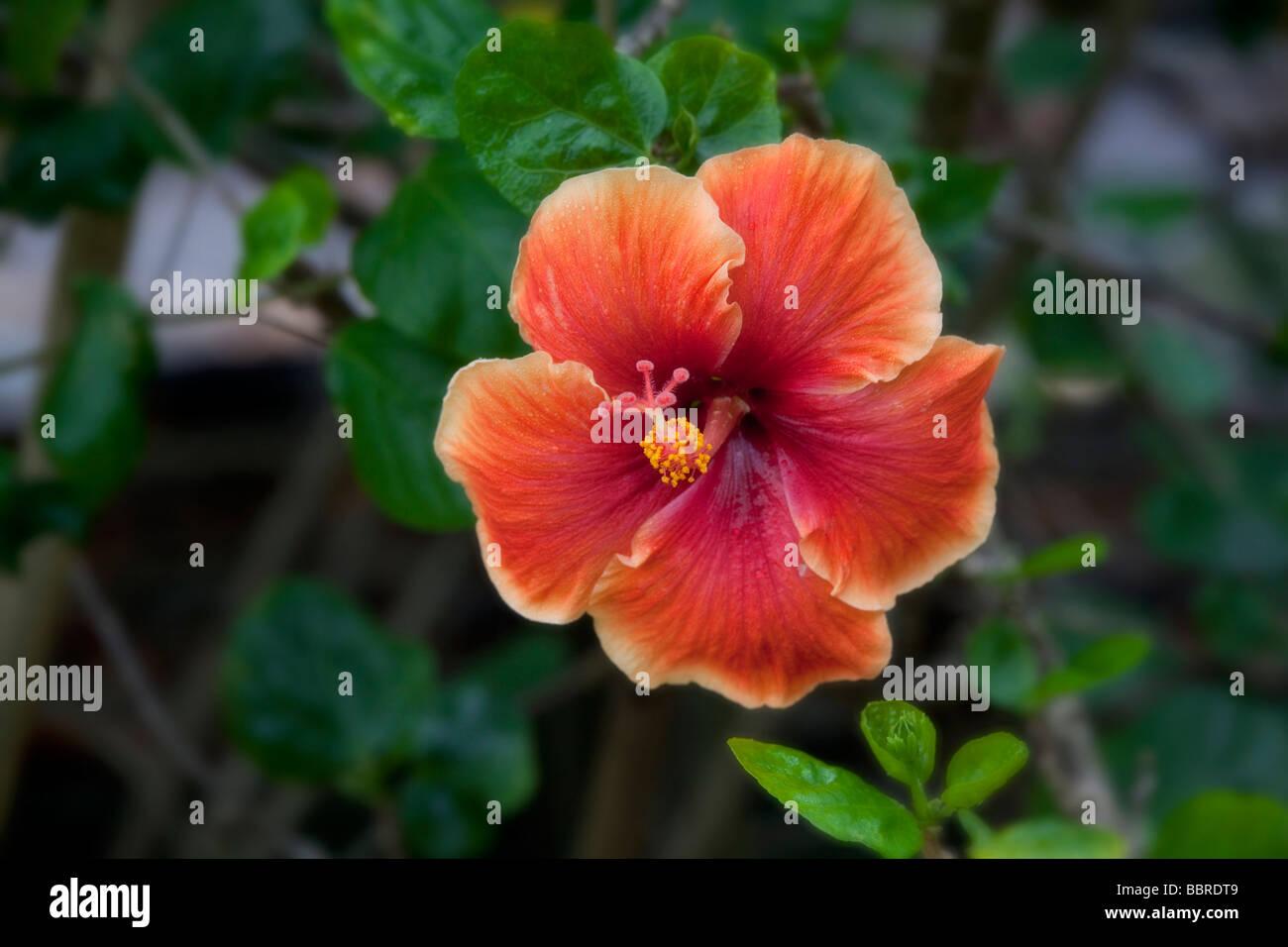 Hibiscus Flower Tropical Gardens Of Maui Iao Valley Maui Hawaii