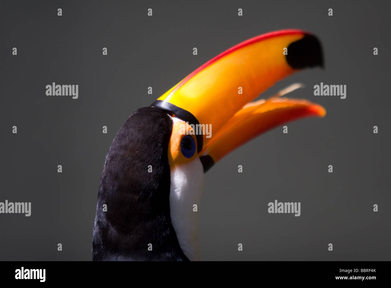 The colourful Toco Toucan and his huge and bright colour beak as seen in the park - Stock Image