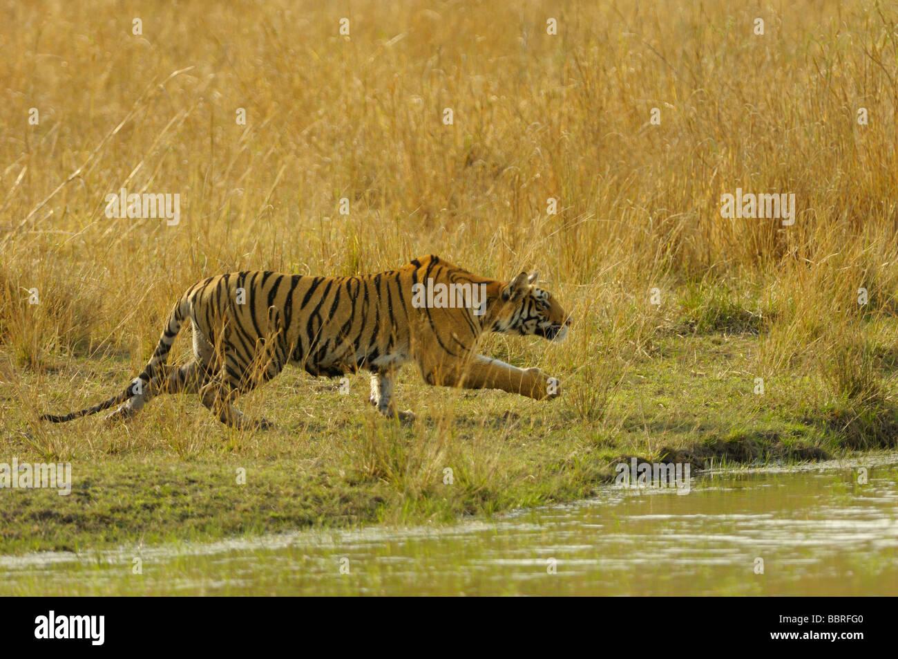Tiger Stalking - Stock Image