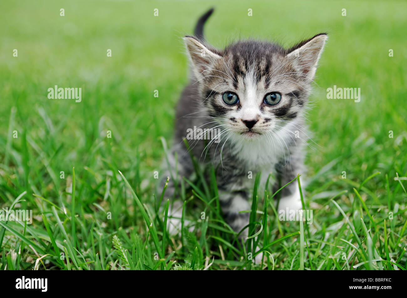 Kitten Outside Walking Through Grass - Stock Image