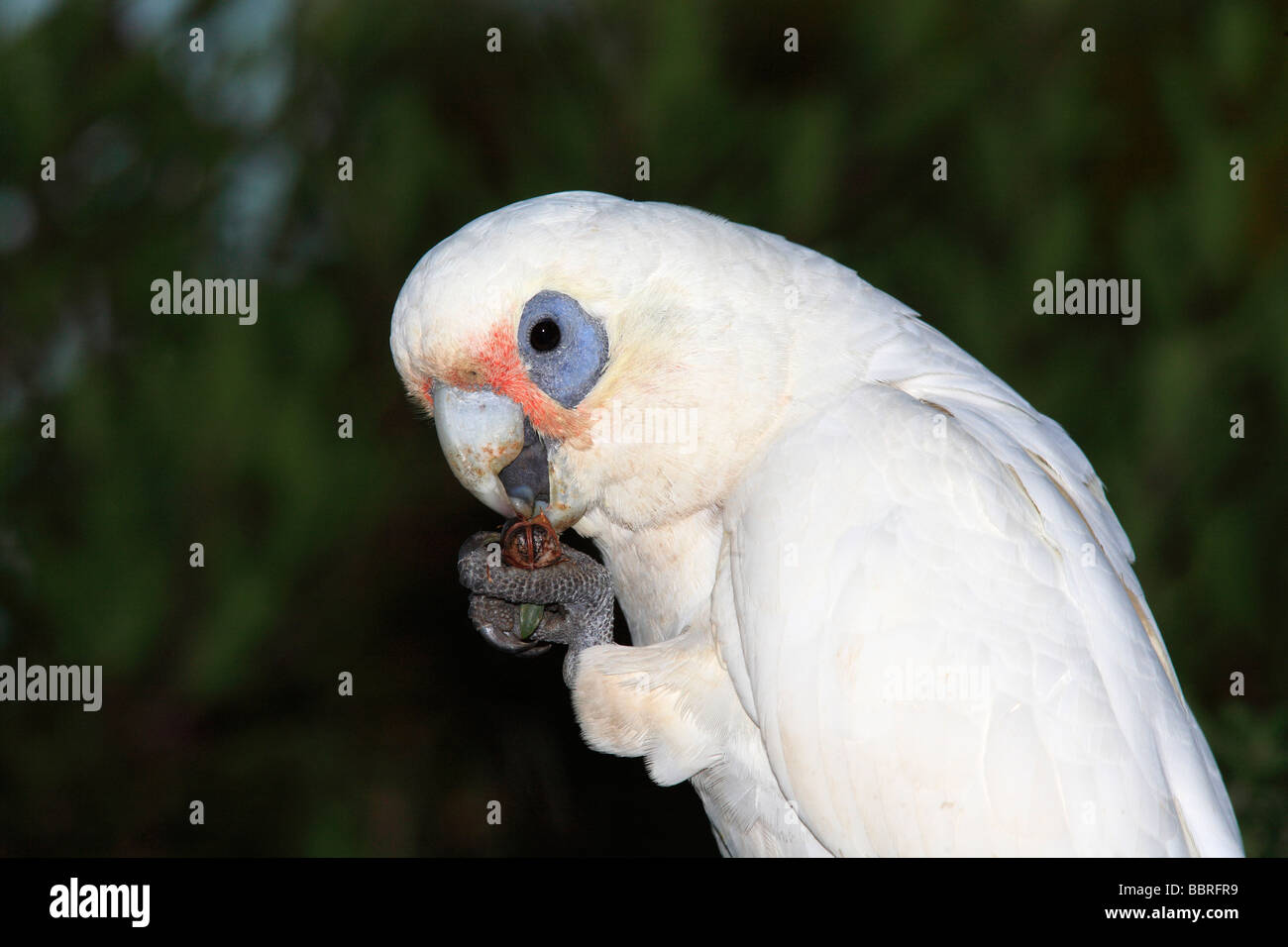 Little Corella, Cacatua sanguinea is an Australian parrot and a member of the cockatoo family. Eating a nut held - Stock Image