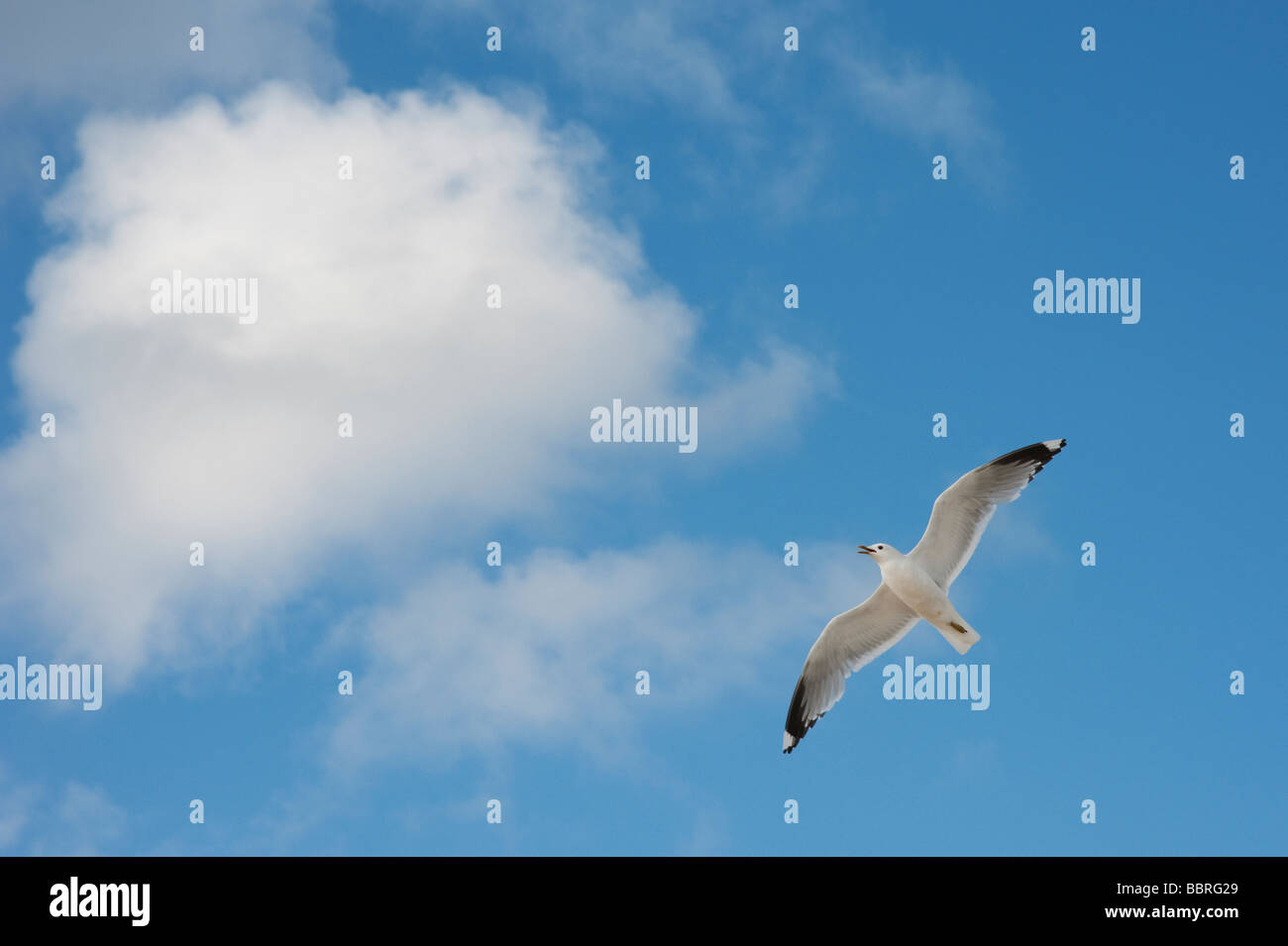Larus canus. Hovering common gull against blue cloudy sky. Isle of Harris, Outer Hebrides, Scotland - Stock Image