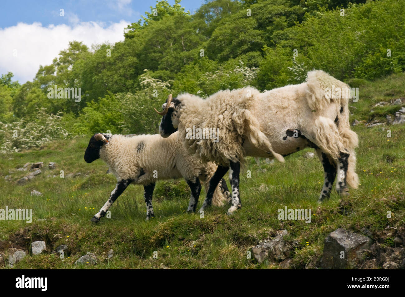 Ewe with lamb. Unclipped fleece on the ewe is beginning to strip off. - Stock Image