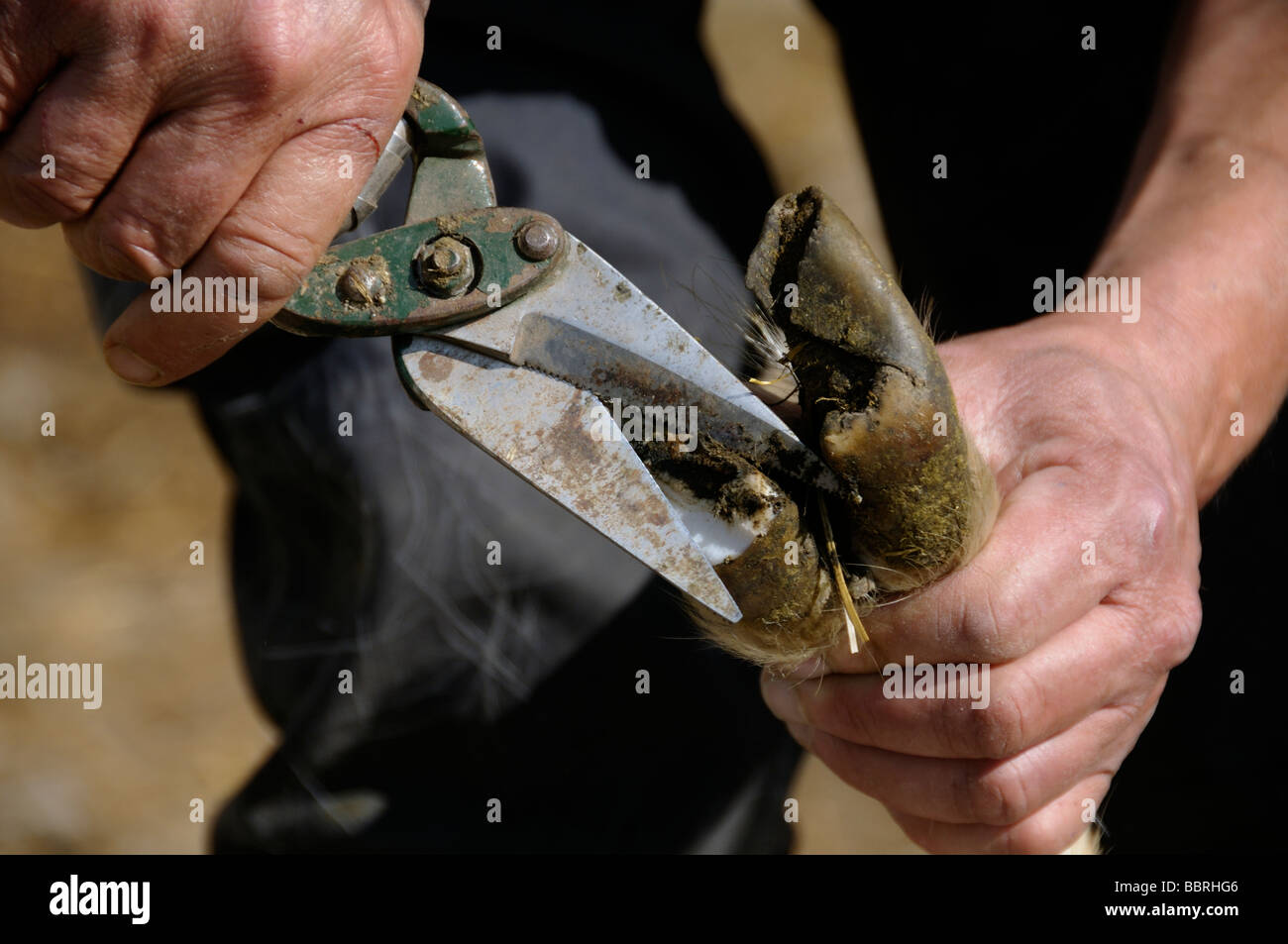 Stock photo of a Goats hooves being cut - Stock Image