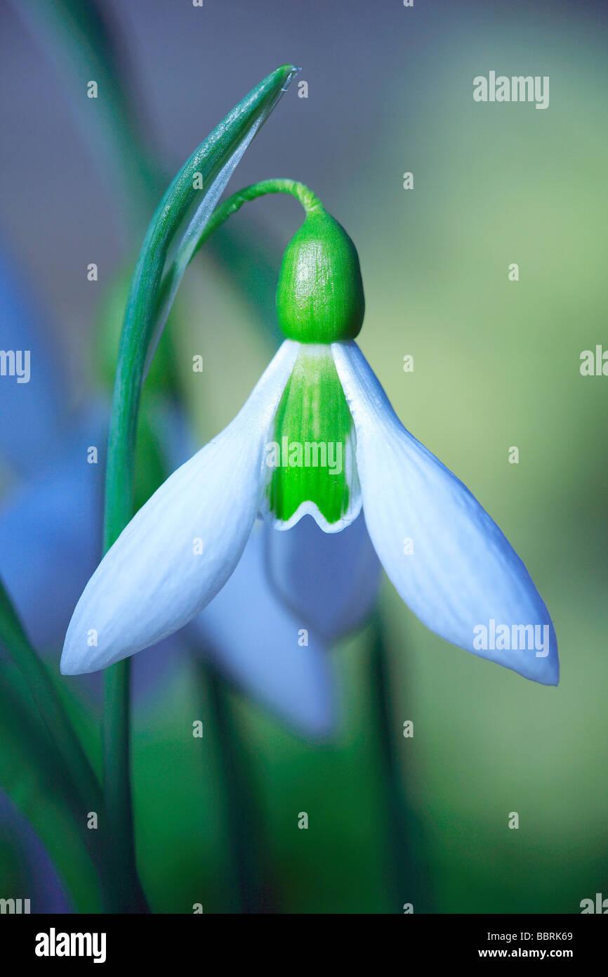 Galanthus Elwesii Snowdrop Elwesii flower England Winter - Stock Image