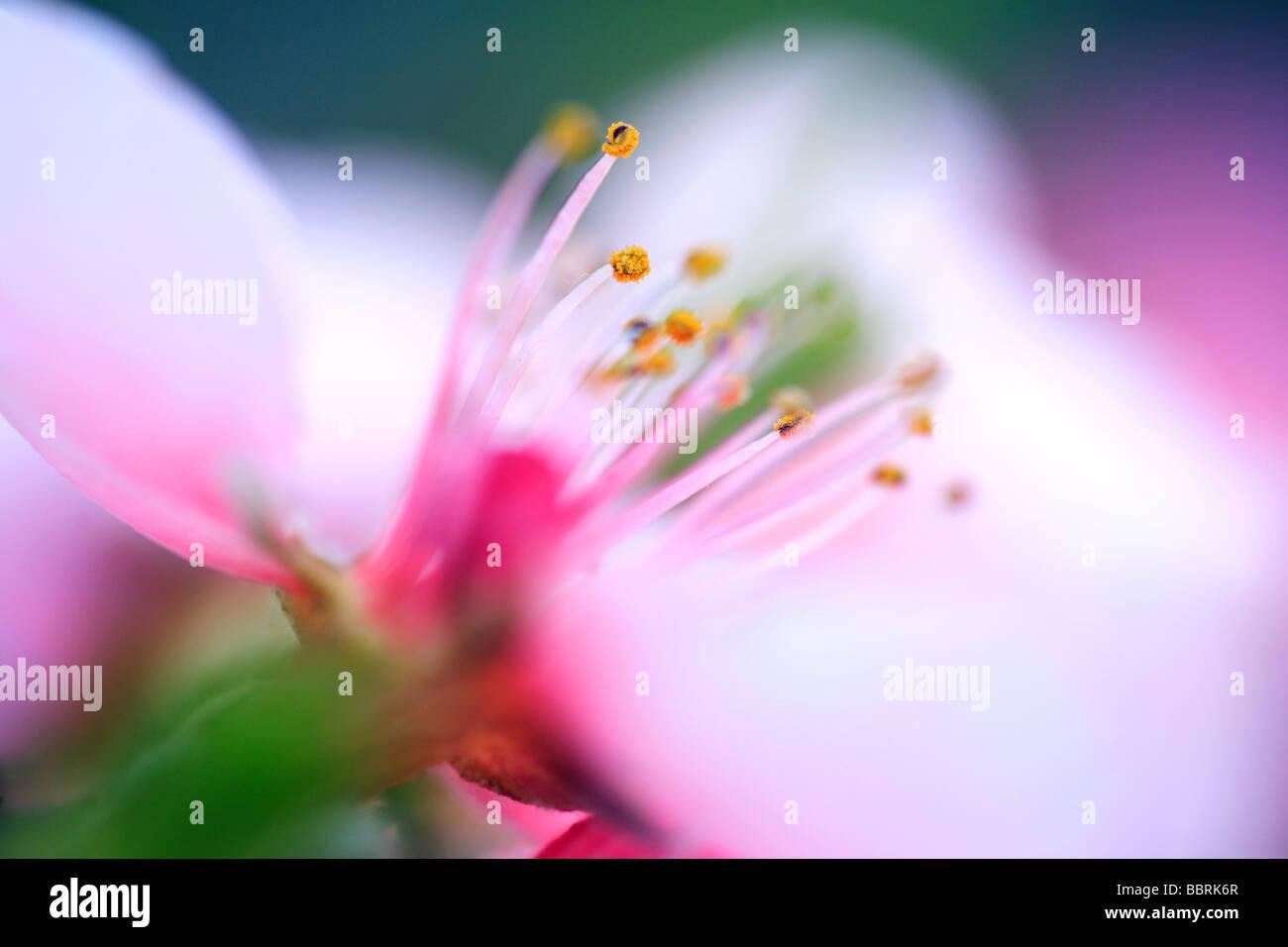 Peach Bonanza Prunus persica Bonanaza flower England Spring - Stock Image