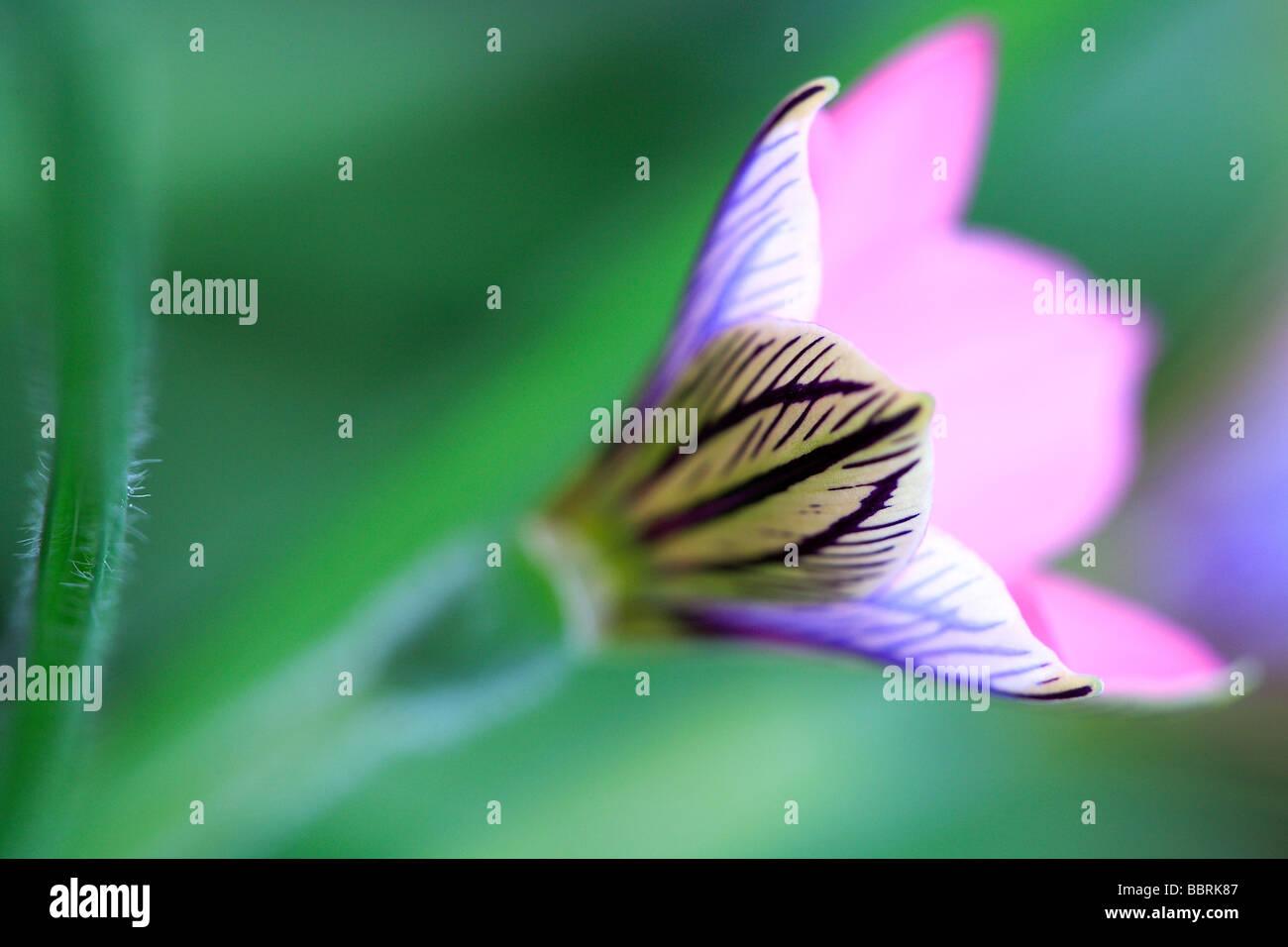 Sand crocus Romulea tetragonal flower England Spring - Stock Image