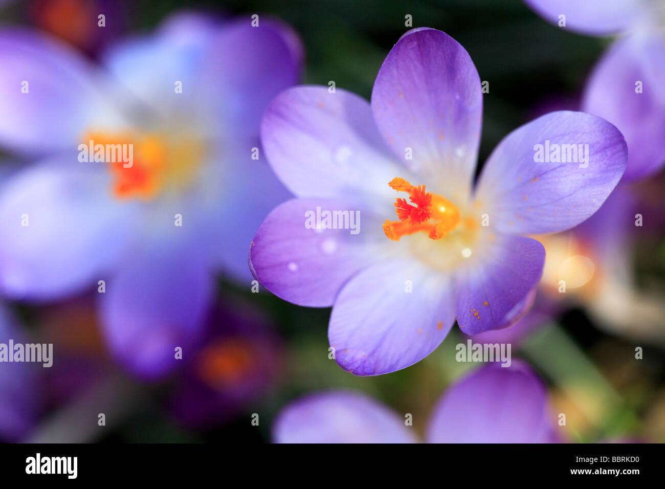 Crocus tomasinianus Lilac crocus flower Glasshouse England Spring - Stock Image