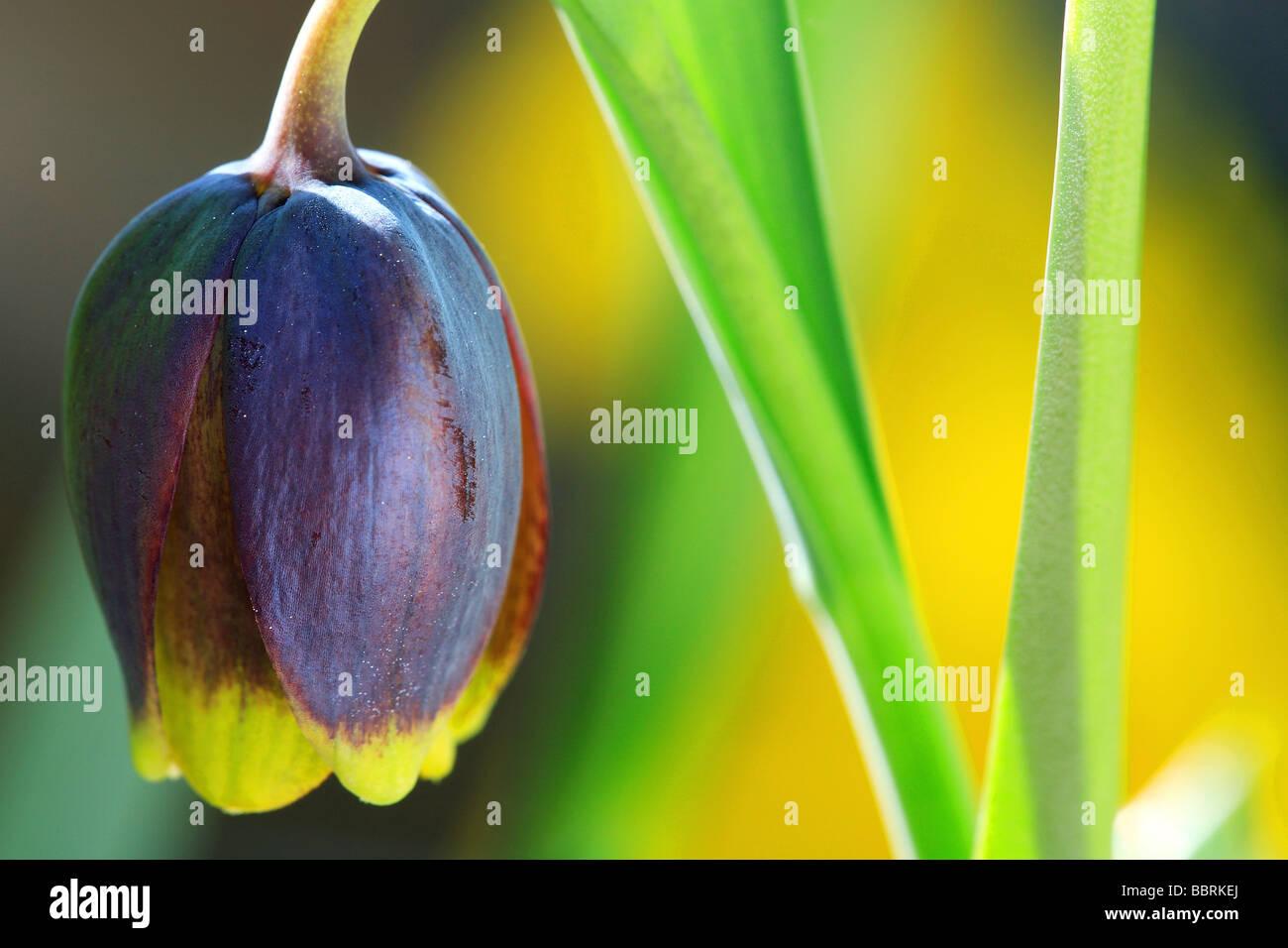 Fritillaria uva vulpis Fritillary uva vulpis flower Glasshouse England Spring - Stock Image