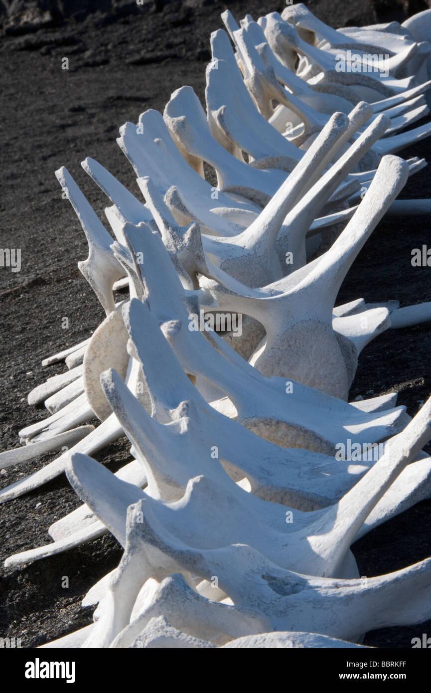 Whale vertebra skeleton close-up Punta Espinosa Fernandina Island Galapagos Ecuador Pacific Ocean South America - Stock Image