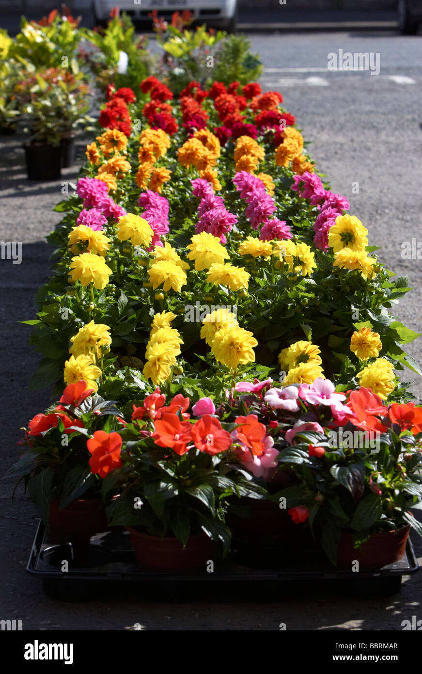 Garden Flowers For Sale At An Outdoor Market In The Uk Stock Photo