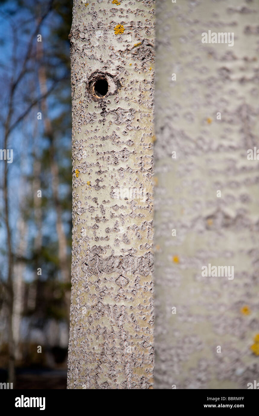Bird's nesting hole in aspen tree trunk - Stock Image