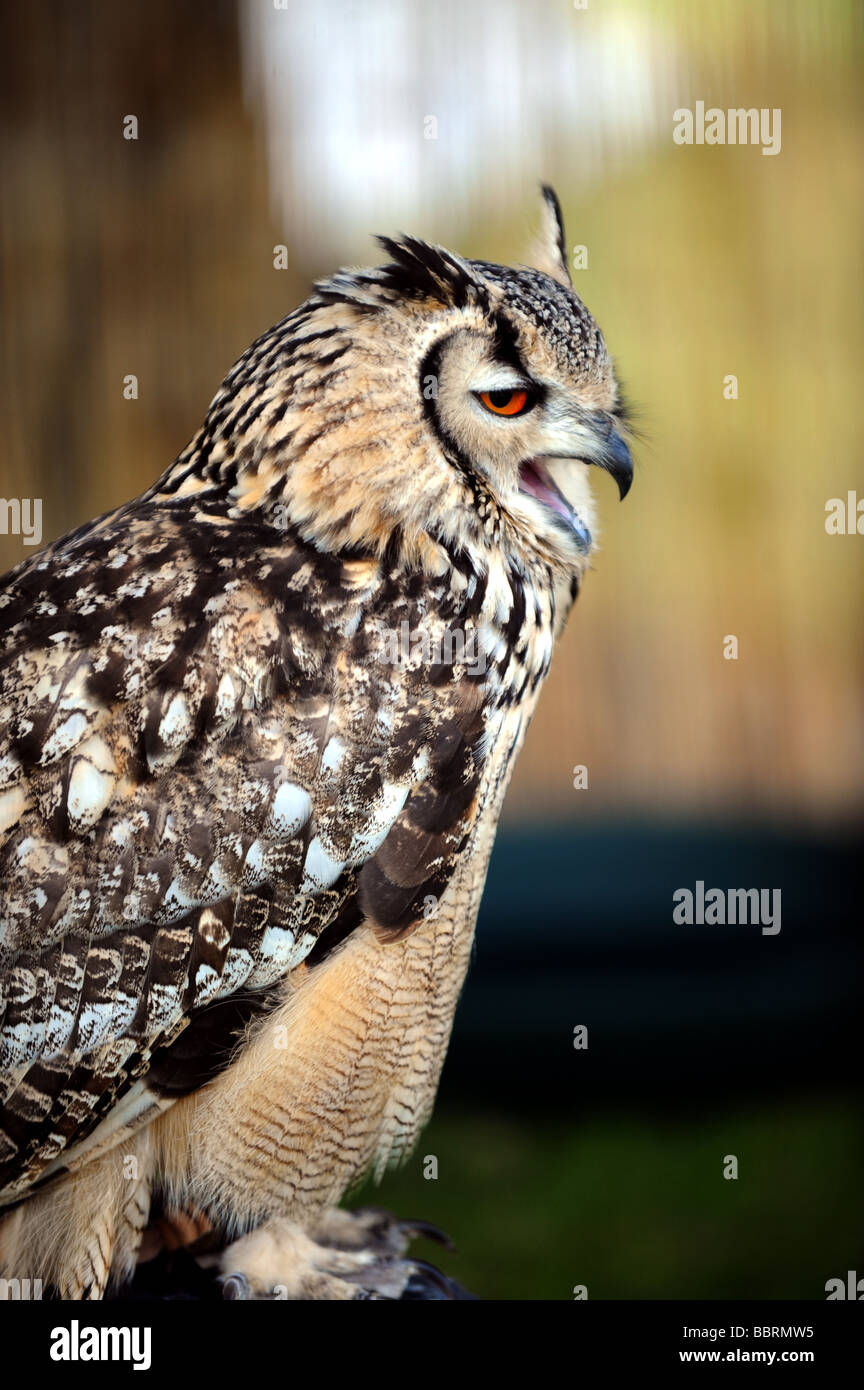 An Indian Eagle Owl at the South of England Agricultural Show Ardingly UK - Stock Image