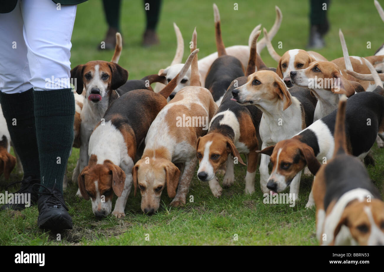 Hunting hounds at the South of England Agricultural Show Ardingly UK - Stock Image