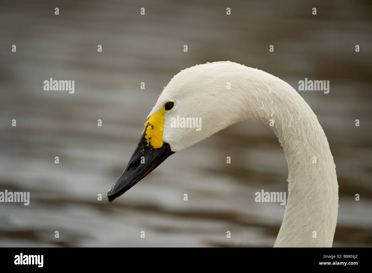Bewick's Swan Cygnus columbianus Stock Photo
