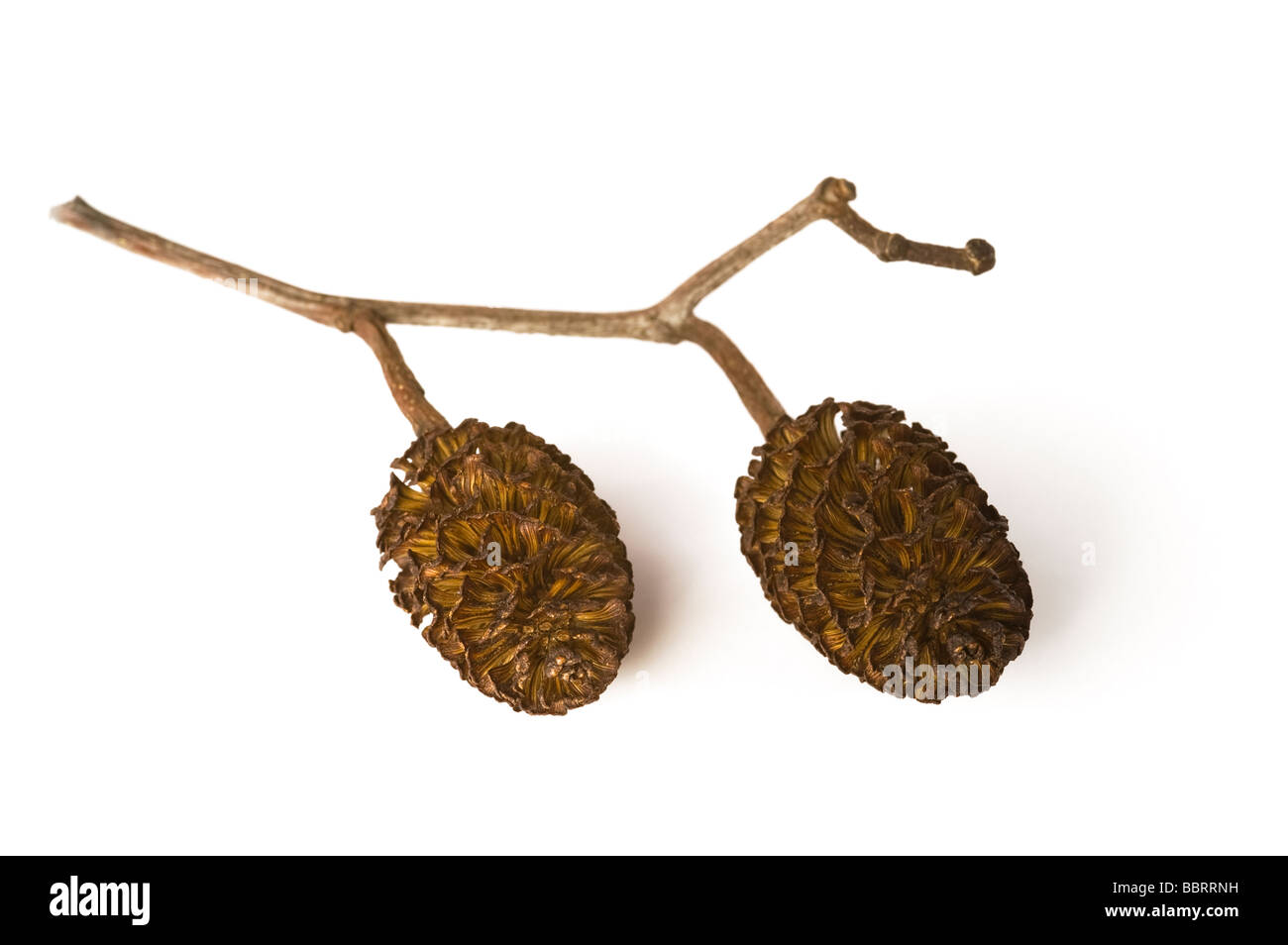 Couple of dried conifer cones against white background - Stock Image