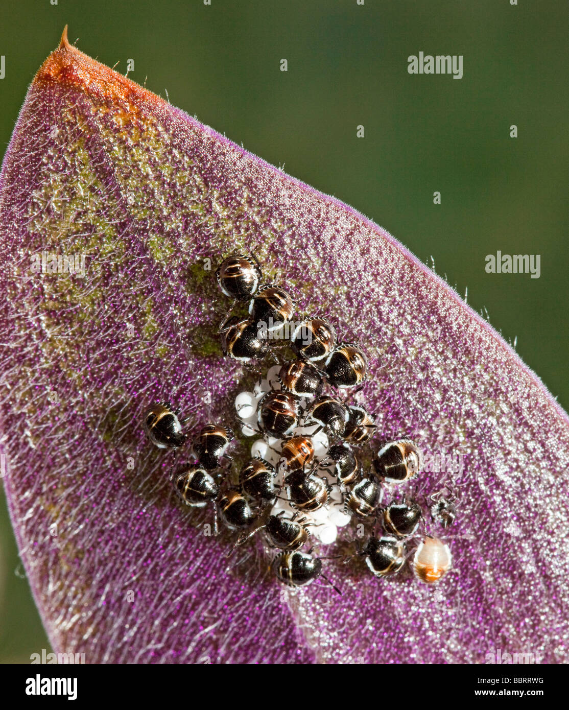 Beetles hatching from eggs on undersurface of house plant leaf - Stock Image