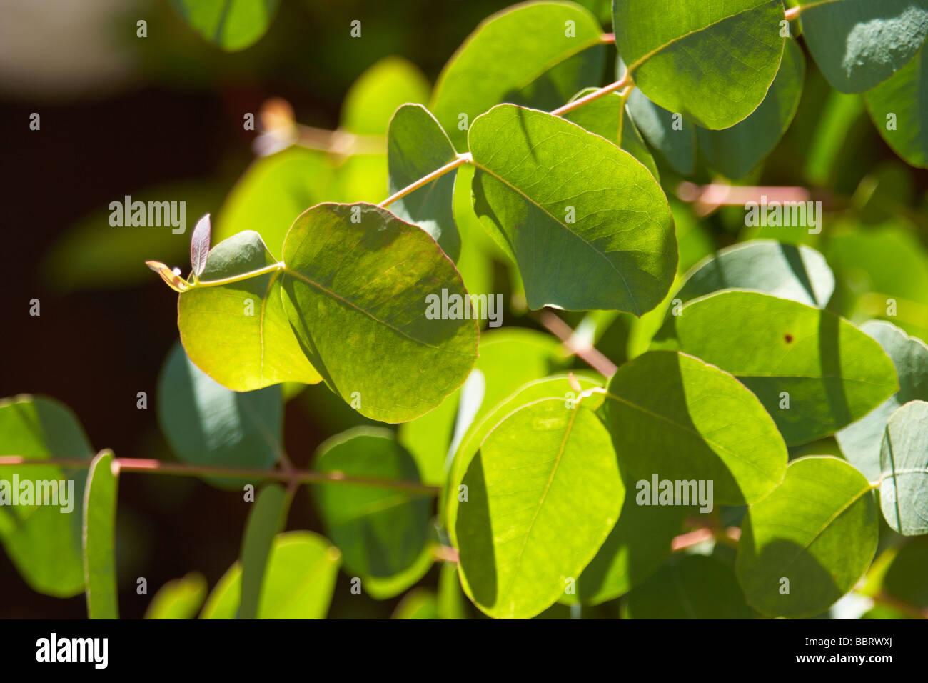 eucalyptus,plant,foliage - Stock Image