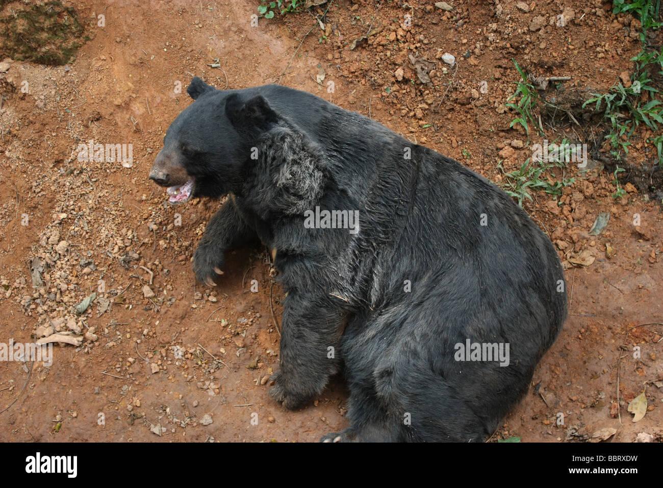 Asian Black Bear - Stock Image