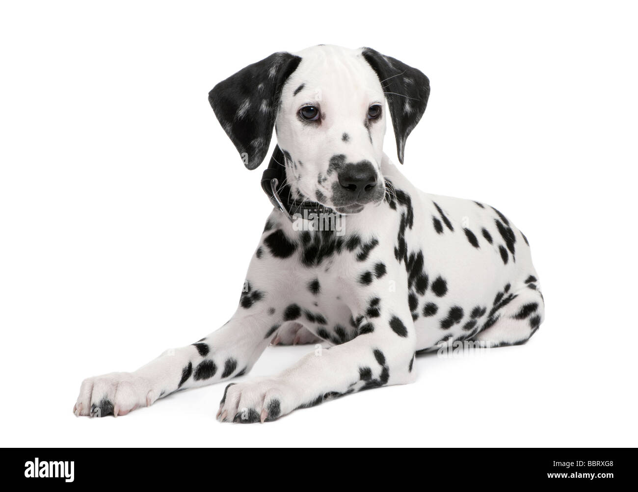 Dalmatian puppy in front of a white background - Stock Image