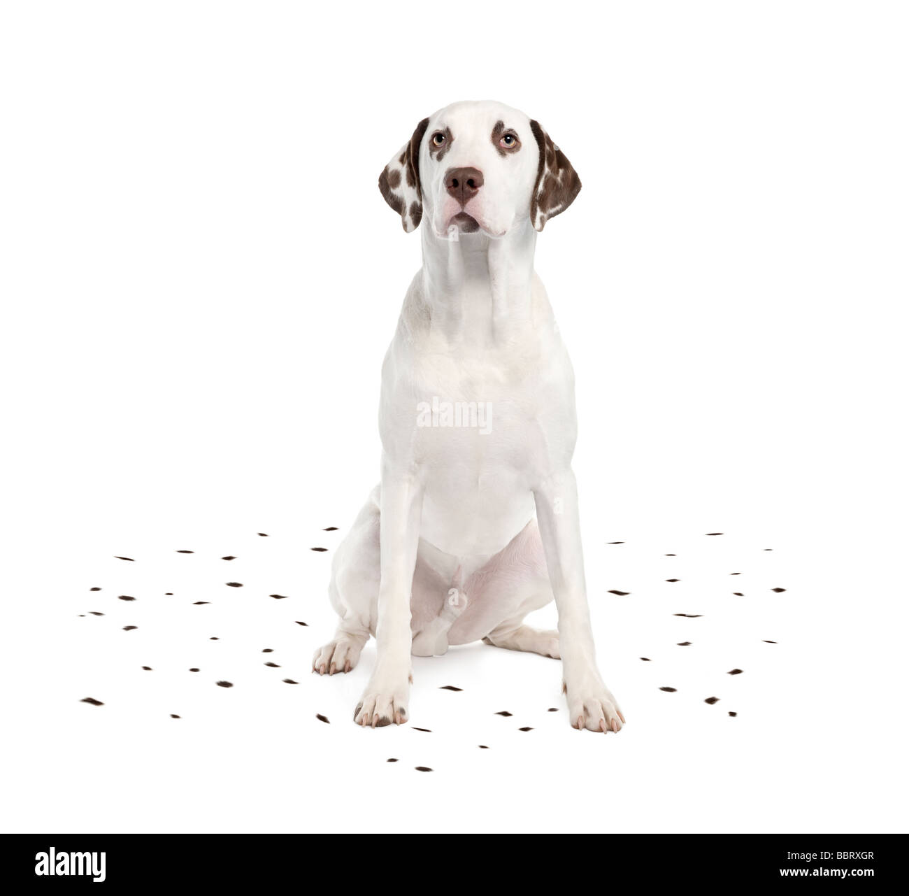 Dalmatian shedding its spots in front of a white background - Stock Image