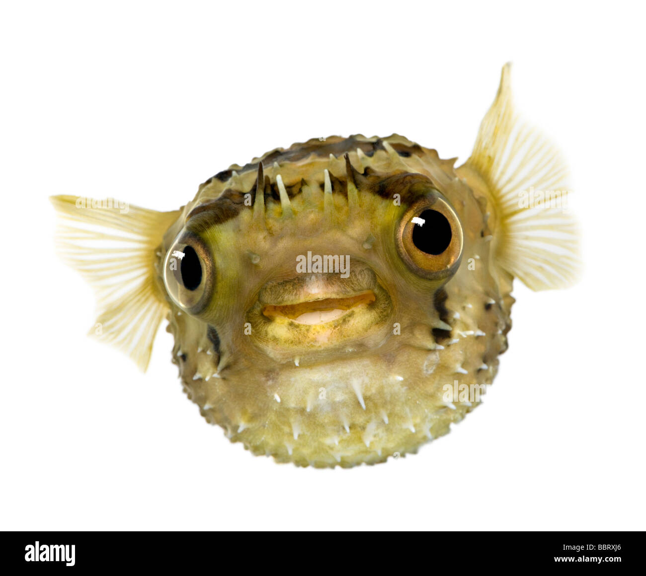 Long spine porcupinefish also know as spiny balloonfish Diodon holocanthus in front of a white background - Stock Image