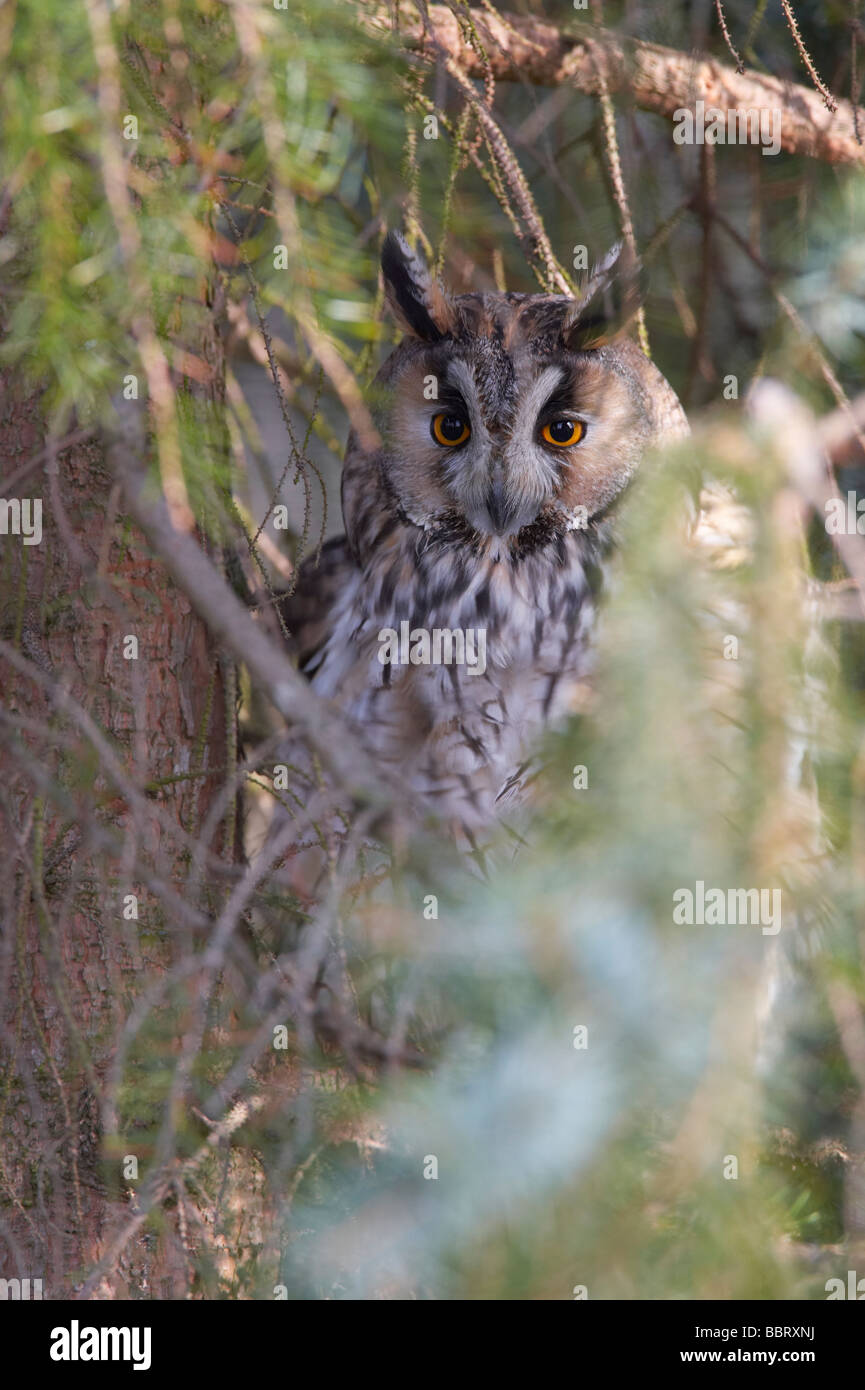 Long Eared Owl (Asio otus) - Stock Image