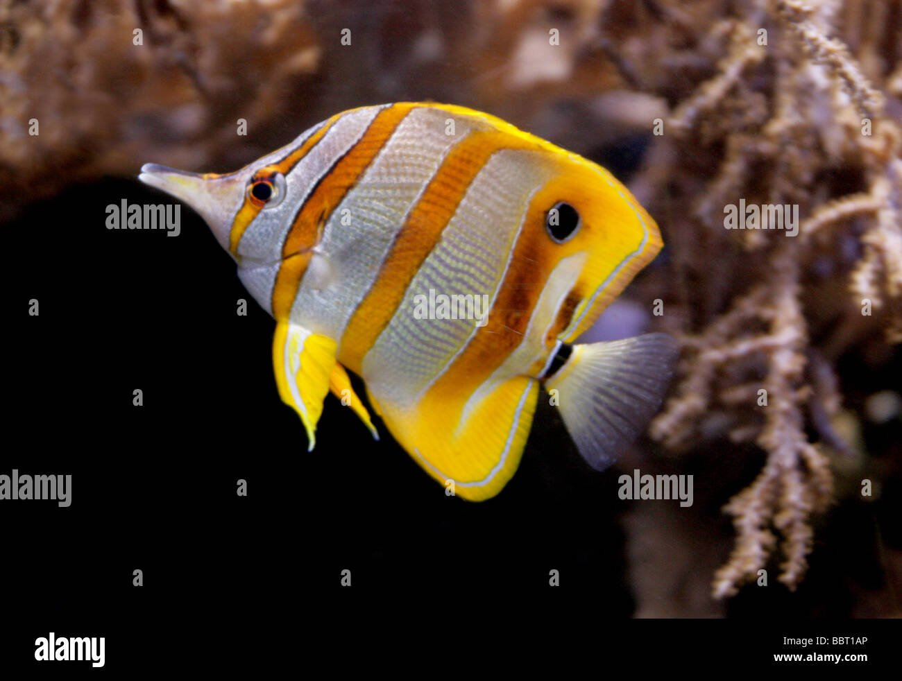 Copperband Butterflyfish, Copper-banded Butterflyfish, Beaked Butterflyfish or Beak Coralfish, Chelmon rostratus, - Stock Image
