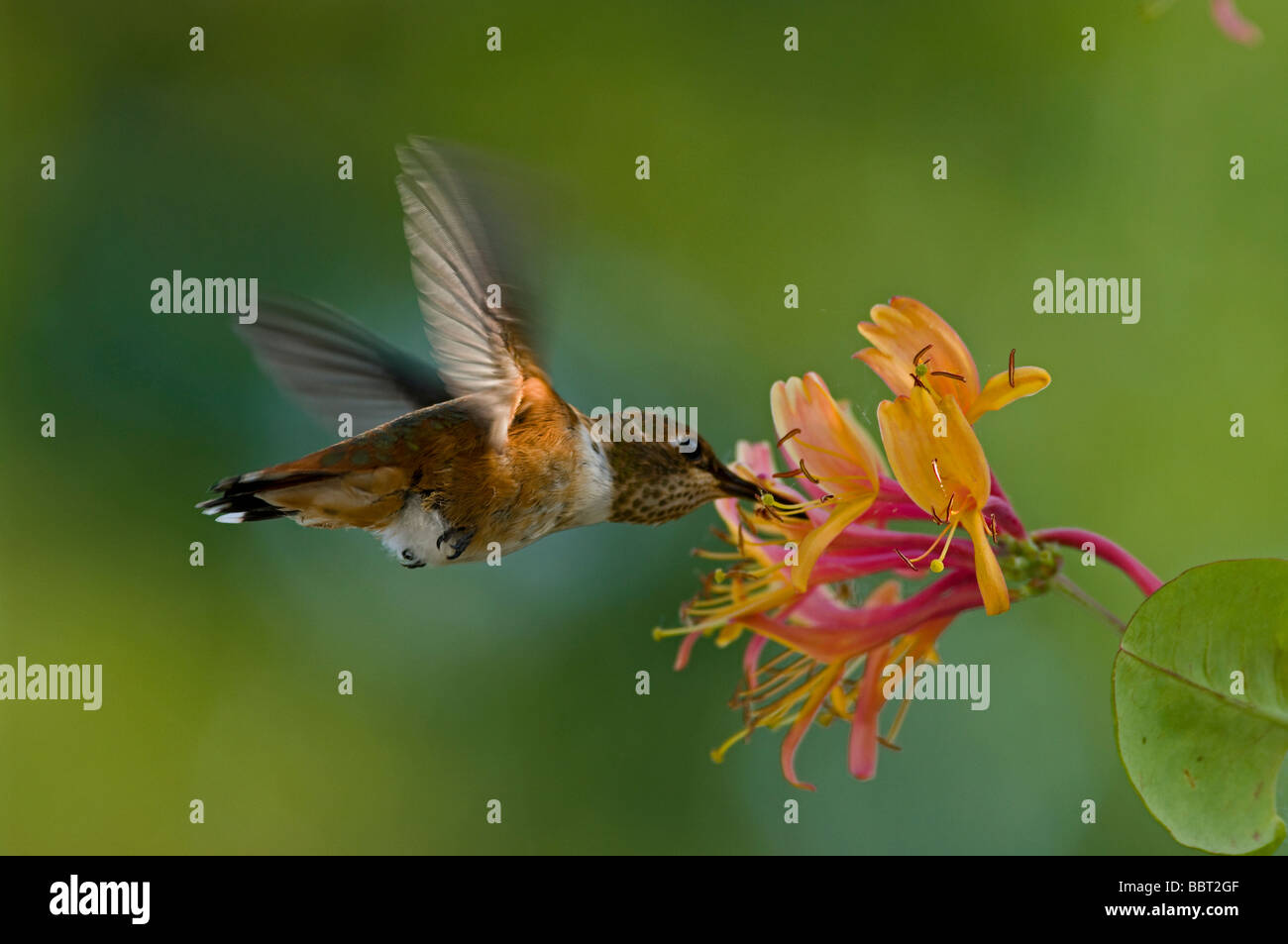Humming bird sipping nectar  from honeysuckle flower - Stock Image