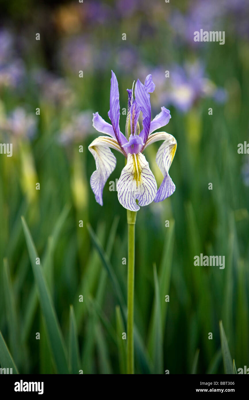 Wild Iris Iridaceae growing in a ranch pasture east of Gunnison near Parlin Colorado USA - Stock Image