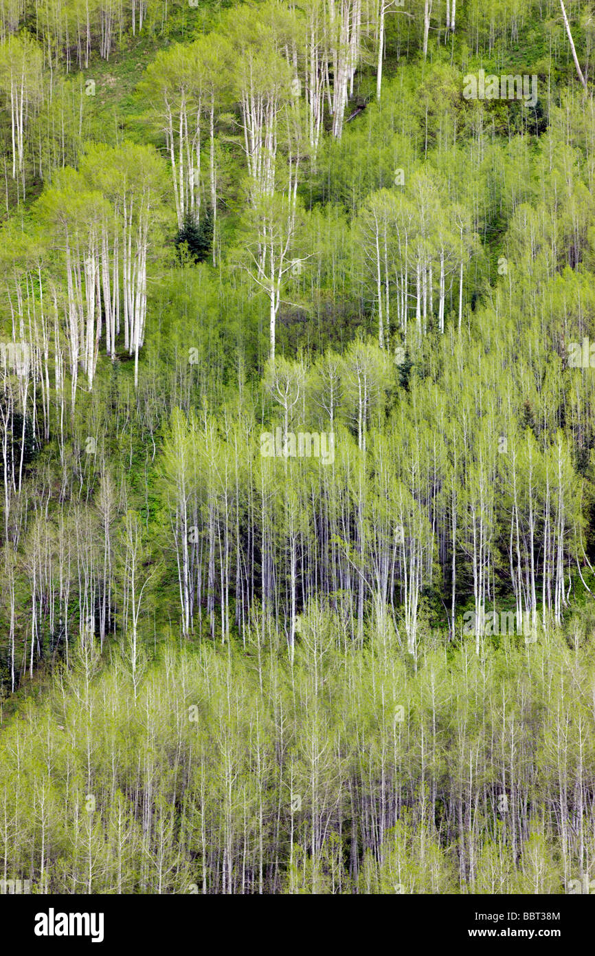 Aspen trees create color and patterns on the mountainsides in the Maroon Bells Snowmass Wilderness Area near Aspen - Stock Image
