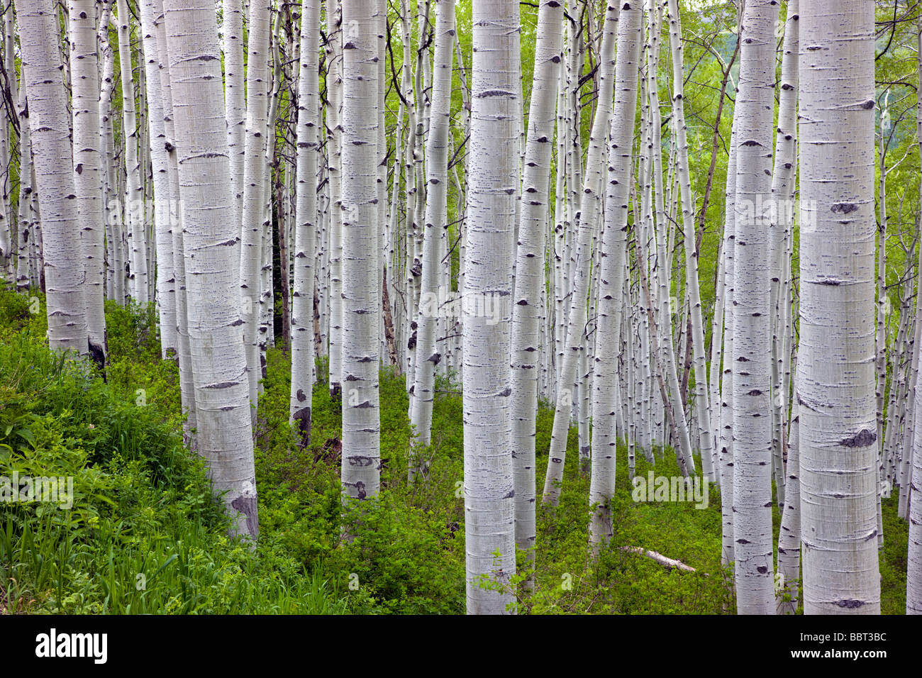 Aspen trees in springtime near Kebler Pass 9980 West Elk Mountains Ruby Range Gunnison National Forest Colorado - Stock Image
