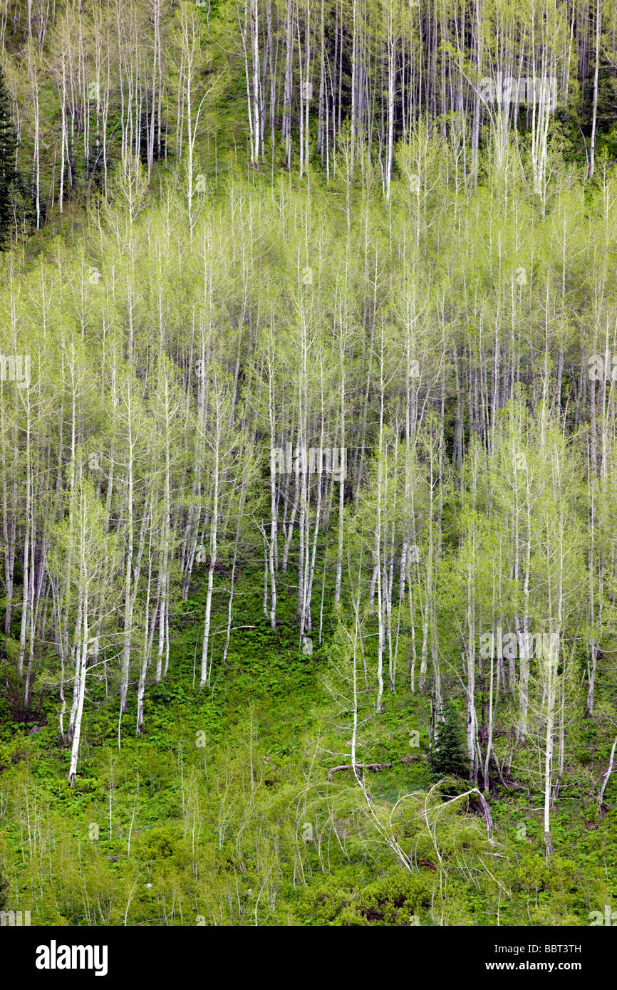 Aspen trees create color and patterns on the mountainsides in the Maroon Bells Snowmass Wilderness Area near Aspen Stock Photo