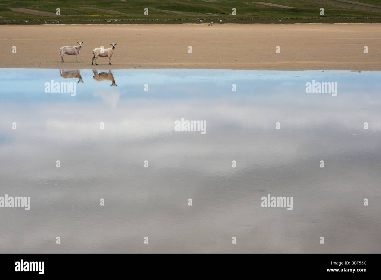 Sheep and their reflections in water on Traigh Scarista beach, Isle of Harris, Outer Hebrides, Scotalnd - Stock Image