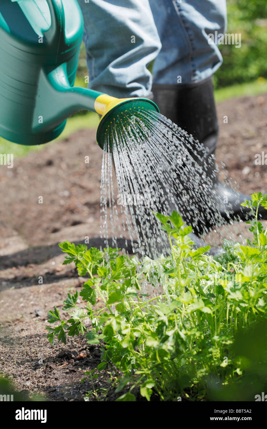 Watering parsley with plastic watering can Stock Photo
