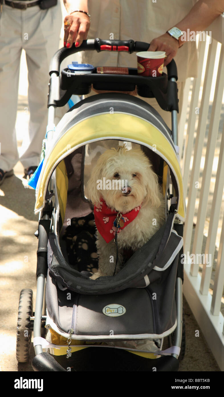 Dog in Pram Annual Dog Festival St Lawrence Market Area Toronto Ontario Canada - Stock Image