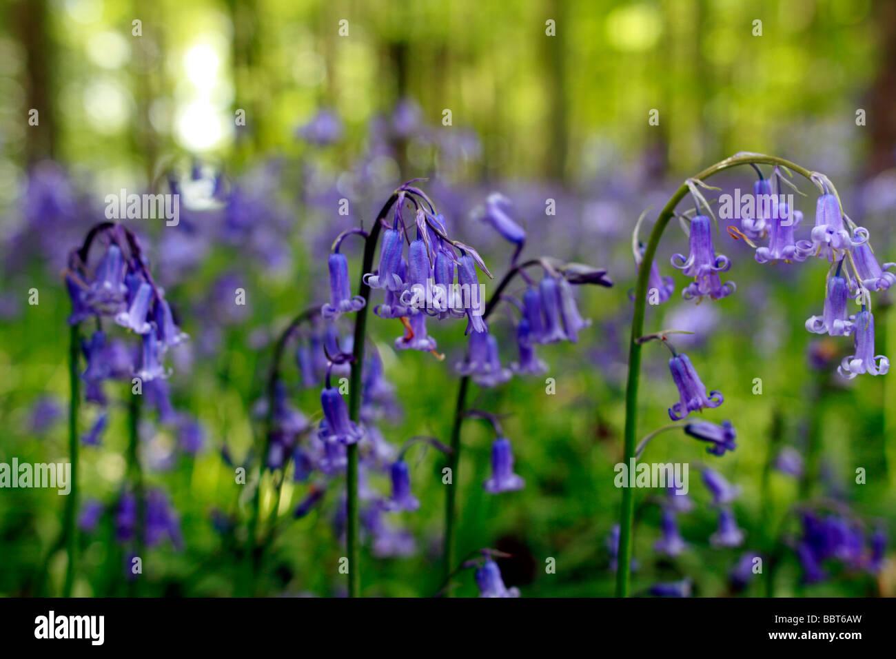 Native bluebell Hyacinthoides non scripta Stock Photo