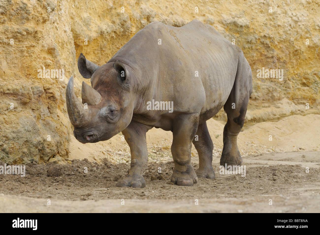Black Rhinoceros Diceros bicornis Endangered - Stock Image