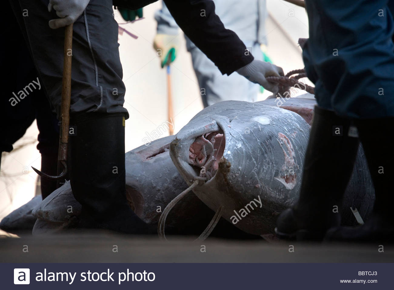 deep frozen Tuna being loaded on to a truck Japan - Stock Image