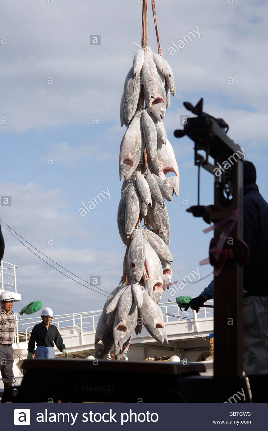 deep frozen Tuna being unloaded from the refrigerated ship - Stock Image