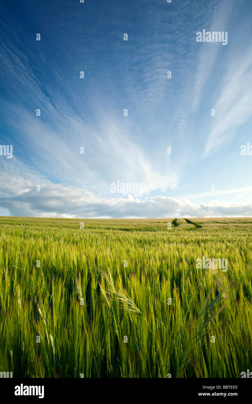 A summer sky over a ripening cornfield - Stock Image