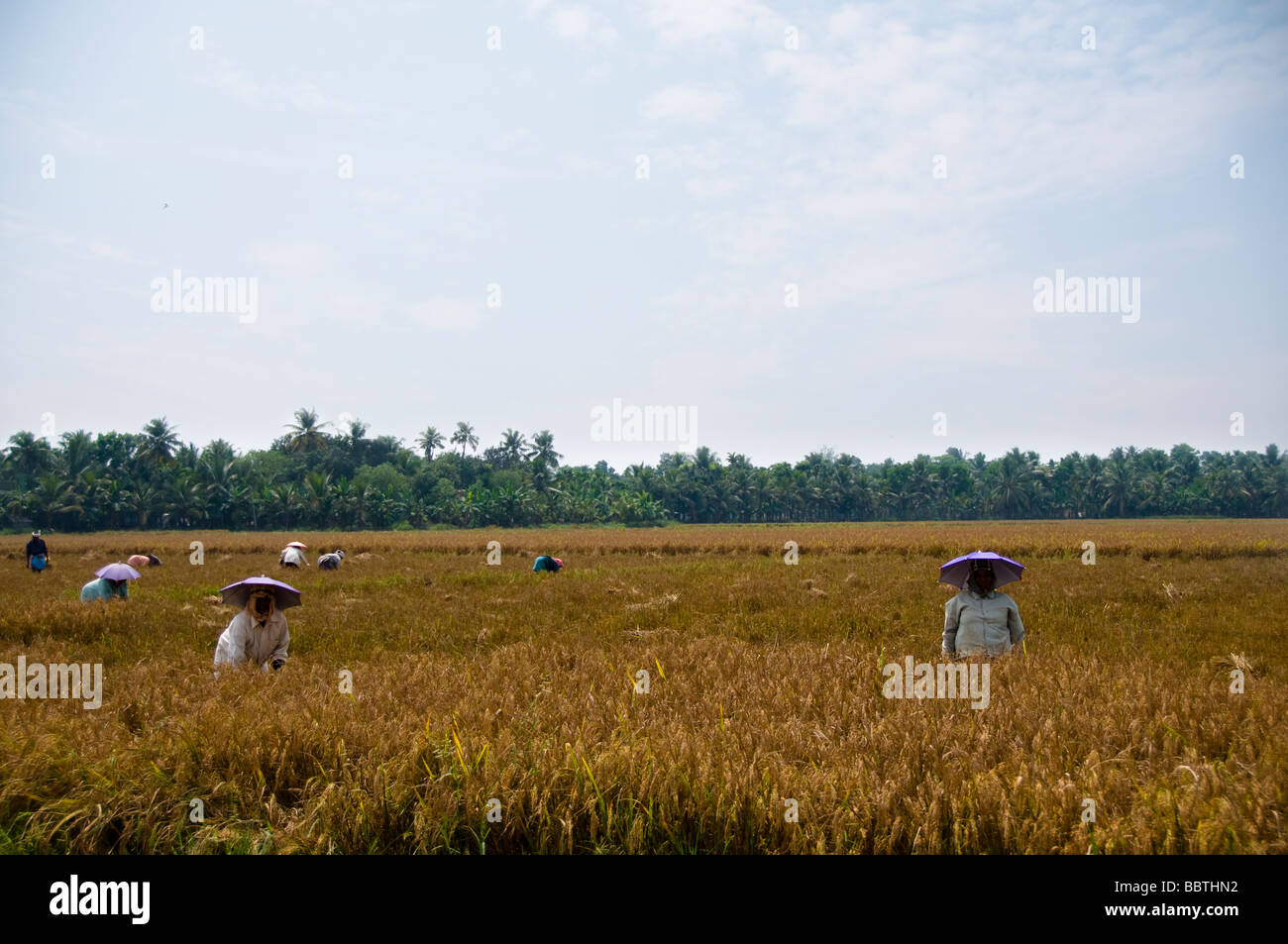 Paddy fields india - Stock Image